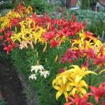 Лилии: посадка и уход в саду