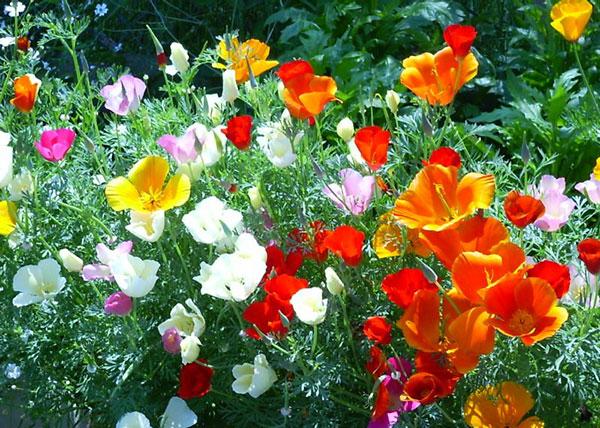 Маки садовые