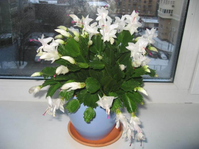 Цветок декабрист (1)
