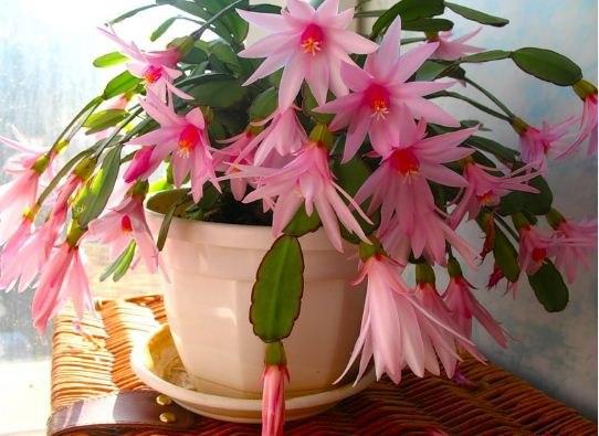 Цветок декабрист (2)
