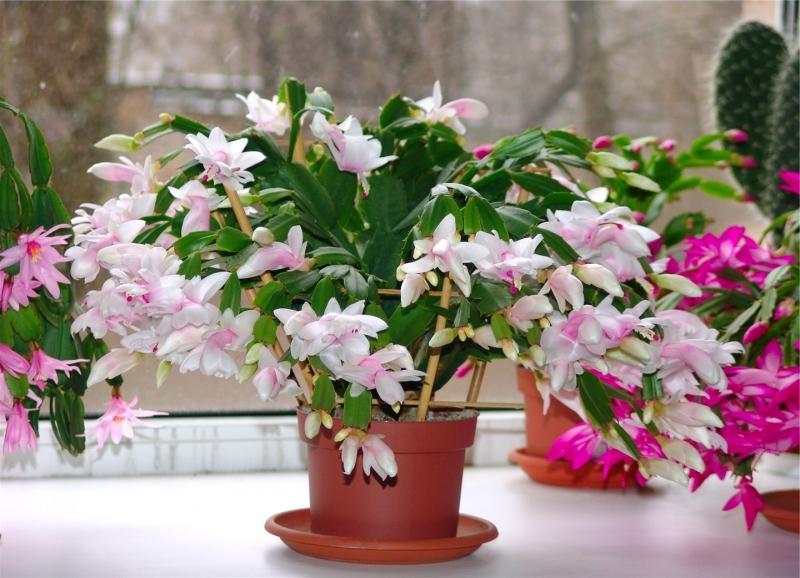 Цветок декабрист (4)