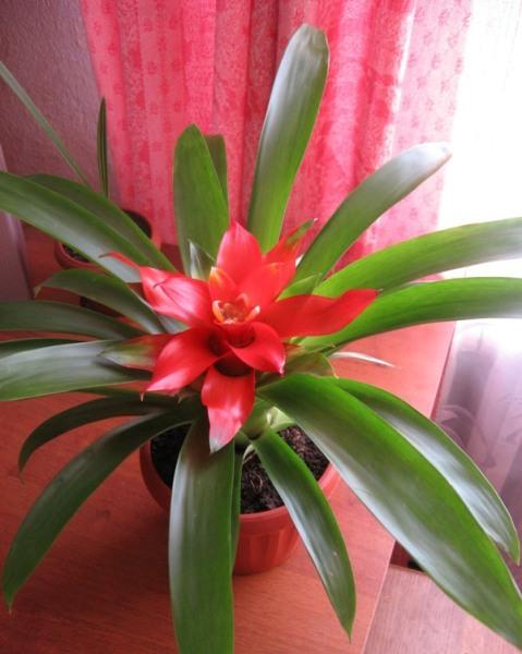 Найти комнатный цветок по цветёт одним цветком