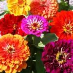 Цветок циния
