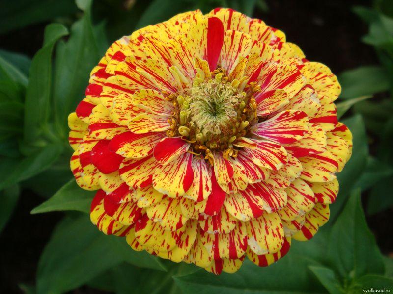Цветок цинния (3)