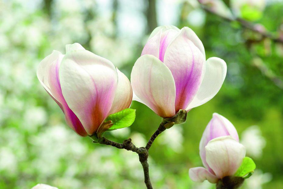 Цветы магнолии (7)