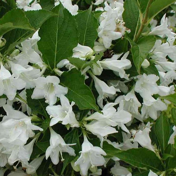 Вейгела цветет (11)