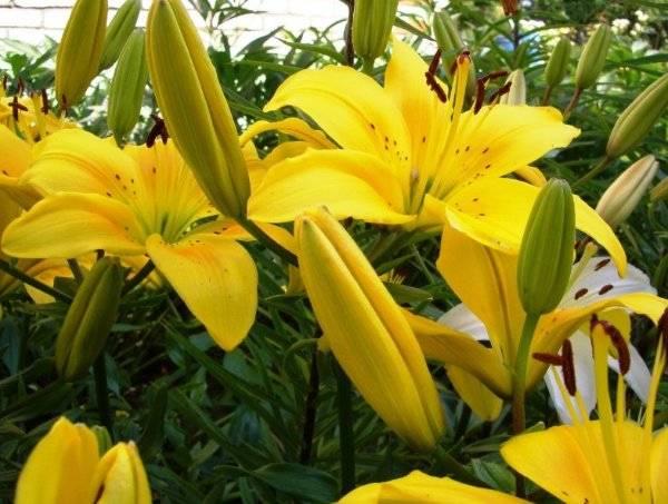Цветы лилии (21)