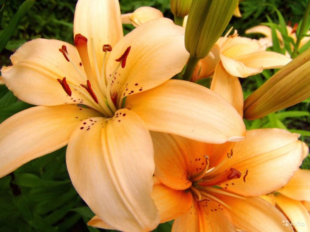 Цветы лилии (9)