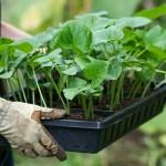Посев семян на рассаду. Секреты сильной рассады