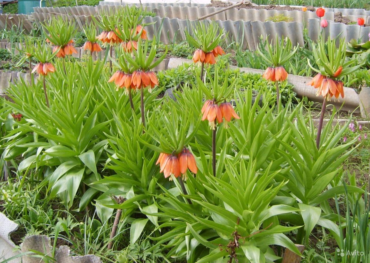 Клубневые садовые цветы фото