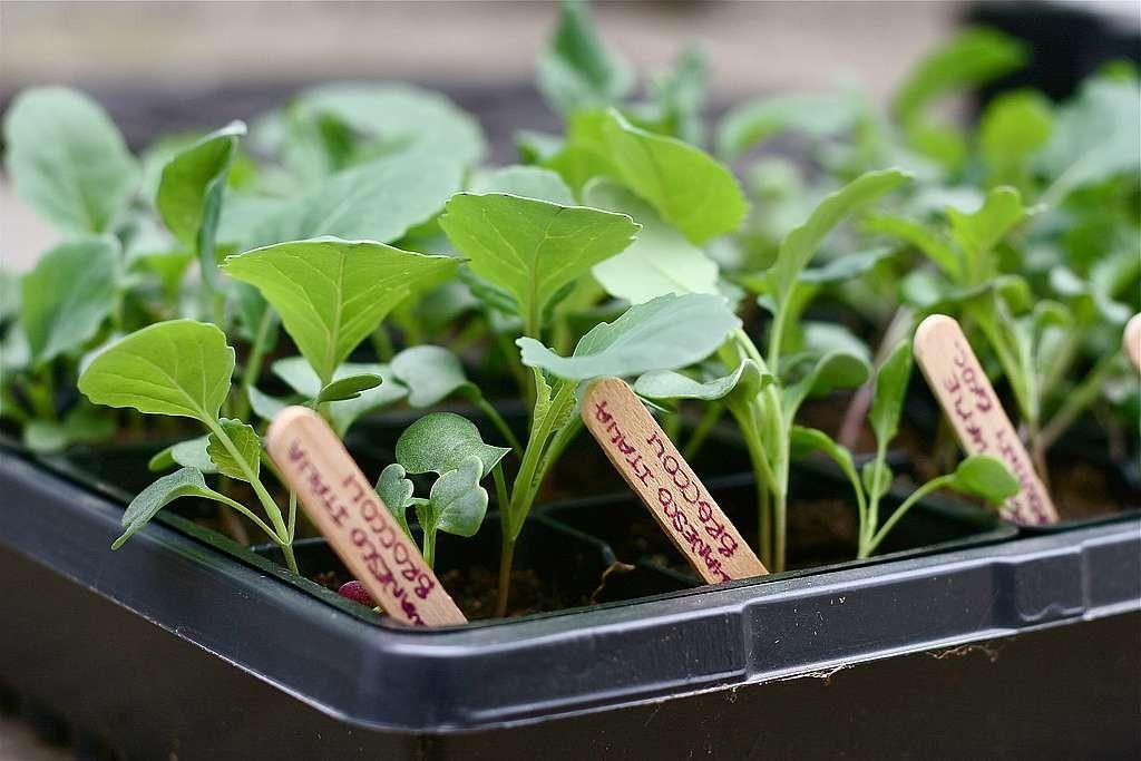выращивание рассады (1)
