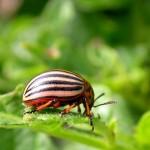 Кто ест колорадских жуков?