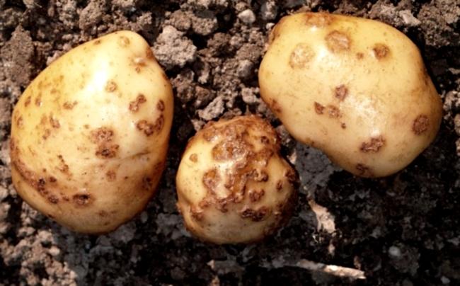 Streptomyces scabies 1 (3264 x 2448) Solanum tuberosum
