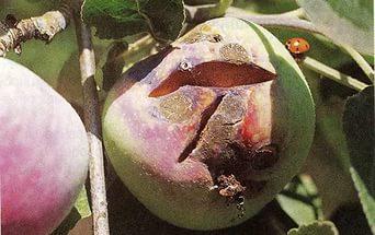 Парша яблони1