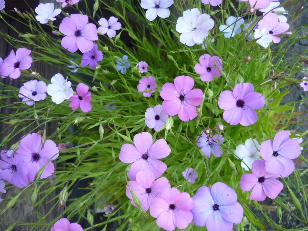 Вискария выращивание 5