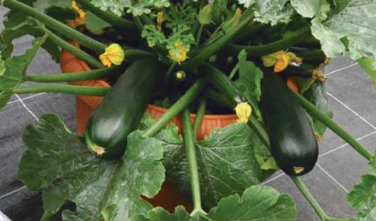 Выращивание кабачков на подоконнике зимой 9