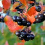 Арония — черноплодная рябина: посадка, уход, размножение